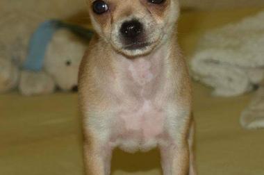 Sehr hübsche und verschmuste Chihuahua Hündin