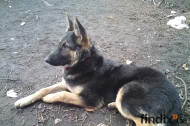 sehr lieber 5 monate alter reinrassiger schäferhund