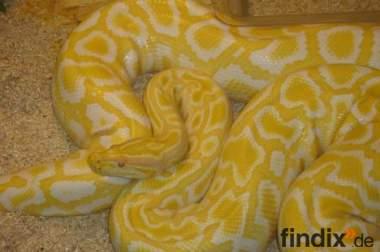 Sehr schöne Albino - Tigerpython abzugeben
