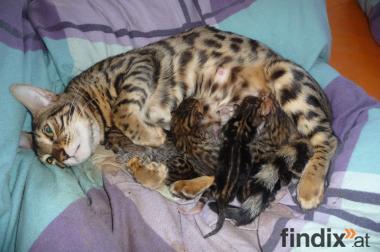 Serengeti - Kitten