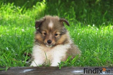 Shetland Sheepdog/ Sheltie Welpen suchen noch ein Zuhause