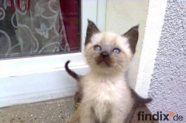 Siam Langhaar kitten