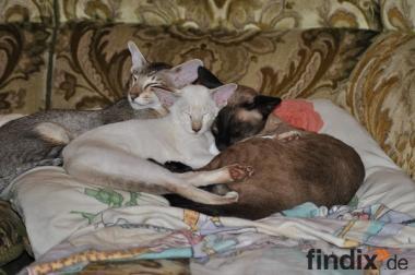 Siamkatze sucht ein neues zu Hause