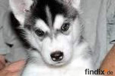 Siberian Husky Welpen reinrassig abzugeben