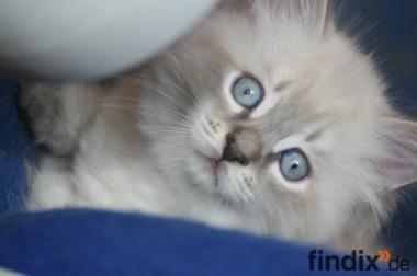 Sibirische Katzenkinder zu vergeben