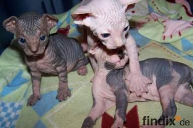 Sphynx Kätzchen zum Verkauf