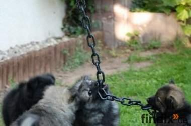Spitzwelpe, Mittelspitzwelpen – Kleine Wölfe in grau, schwarz, ta