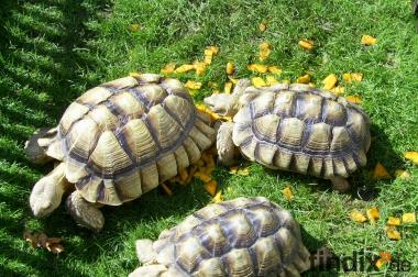 Sporenschildkröten Geochelone Sulcata