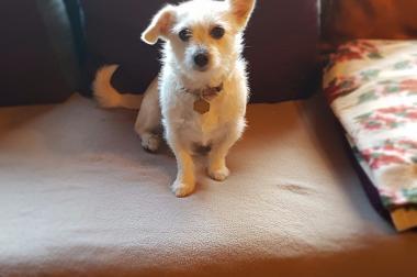 Suche ein Chihuahua Mädchen
