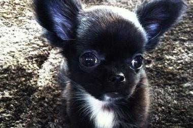 SUCHE!! Chihuahua Welpe
