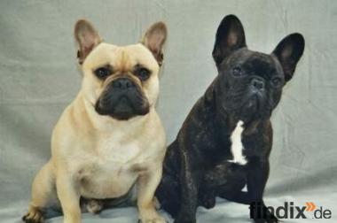 suche eine französische oder englische bulldogge!