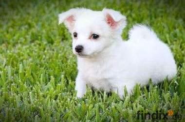 Suche kleinen Hund (welpen) bis 100€