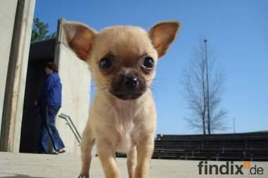 Suchen Chihuahua-Welpen