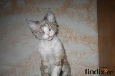 Suchen für unsere Devon Rex Katze