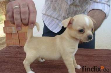 Suchen Hellen Mini/Teacup Chihuahua