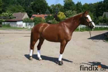 süß und gut ausgebildetes Pferd