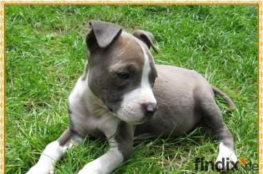 Süße Am Staff American Staffordshire Terrier Pitbull Welpen !