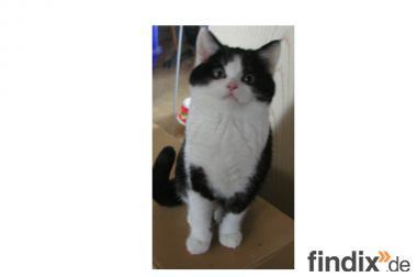 Süße BKH-Kätzchen suchen liebevolles Zuhause