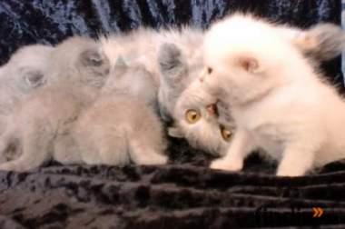 Süsse BKH/Scottish Fold Kitten- Ein Traum in Plusch