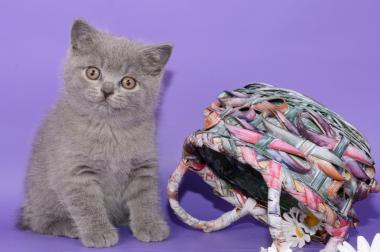 Süße Britisch Kurzhaar / Kartäuser / BKH / Kitten in blau!