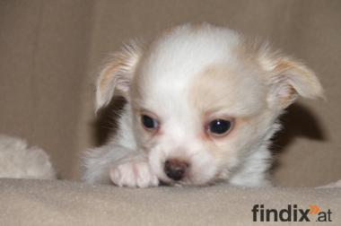 süsse Chihuahua aus korrekter Zucht