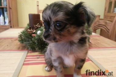 Süße Chihuahua Babys!