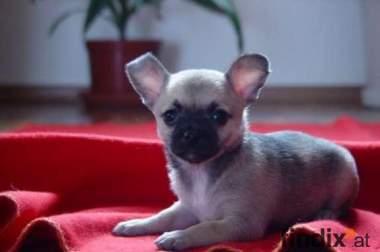 Süsse Chihuahuawelpen mit Österr Ahnentafel
