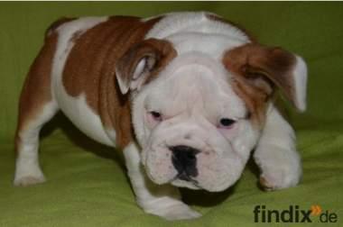 Süße Englisch Bulldogge Hündin mit FCI Papieren gegen Schutzgebüh