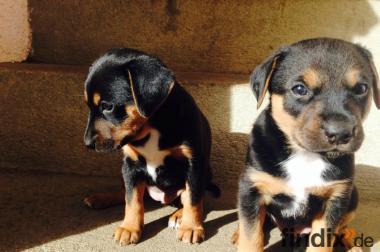 Süße Hunde Welpen abzugeben Mischlinge