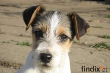 Süsse Jack Russell Terrier-Welpen zeitweise abzugeben