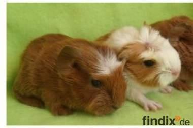 süße kleine Baby- Rasse- Meerschweinchen (m+w) + Ältere abzugeben