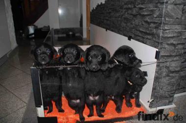 Süsse Labrador/Rottweiler Welpen zu verkaufen
