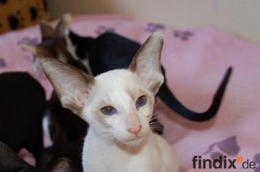 Süße OKH- und Siam-Kitten mit Stammbaum vom Züchter