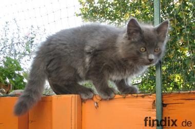Süße Sibirische Katzenkinder