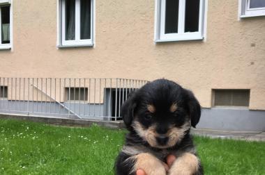 Süße Toy-Pudel- Terrier