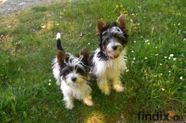 Süsse Zwillinge: Biewer Jorkies