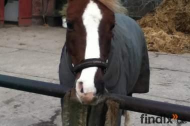 Süßer kleiner Pony Wallach