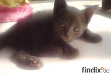 süßer Koratkaterchen, 12 Wochen alt, sucht neues Zuhause