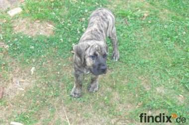 Süße Dogo Canario Hündin 13 Wochen alt
