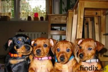 Süße Zwergpinscher-Welpen suchen ein neues Zuhause!!!