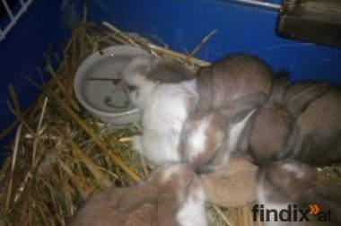 Süße Zwergwidder Kaninchen