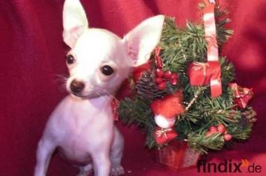 Super EXTRA MINI Chihuahua Welpe weiss-rot