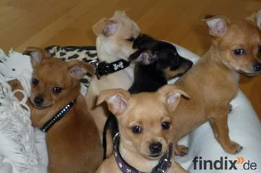 Super süße Chihuahua Welpen abzugeben *°*