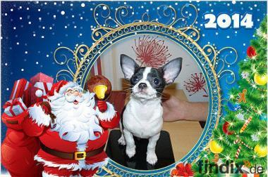 super süßer Chihuahua welpe 2 monate alt