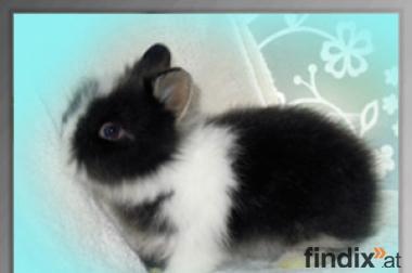 Supersüße handzahme Teddyzwerg Kaninchen Babys abzugeben!