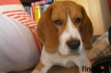 Supersüßer Beagle, Murphy, 1 Jahr alt