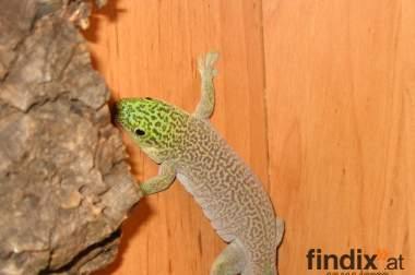 Tag geckos