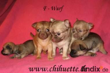 Teacup Chihuahuas unser F-Wurf kann umziehen1
