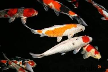 Teich fische koi karpfen fa f rdefisch 402407 for Koi karpfen teich