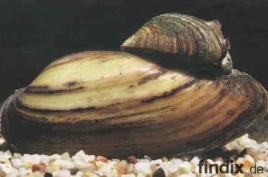 Teichmuscheln der biologische Filter // Fa.Fördefisch